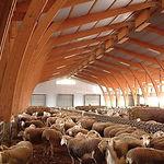 La cabaña ganadera de Dehesa de Los Llanos está formada por más de 6.000 cabezas, 5.000 ovejas y 1.200 corderas de reposición.