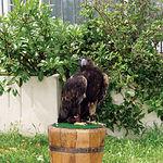 Águila imperial ibérica en fase de recuperación en el Centro de Estudios de Rapaces Ibéricas de Sevilleja de la Jara.