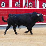 Toro Montalvo -Jilguero - XI Premio Samueles - 2º Castella - 10-09-16