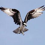 Los cursos fluviales son utilizados en las migraciones, destacando el paso esporádico del águila pescadora, en la foto.
