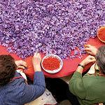 Mujeres realizando la monda del azafrán.