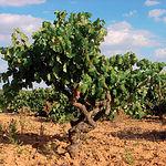 El paisaje manchego se caracteriza, principalmente, por sus viñas, referente agrícola en Castilla-La Mancha.