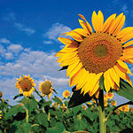 Castilla-La Mancha ocupa el 61% de la superficie total nacional de cultivos de girasol para uso energético.