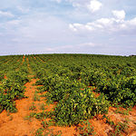 La principal fuente de riqueza de Tarazona de La Mancha es la agricultura.