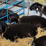 Este Grupo de investigación también trabaja en la preservación de la oveja manchega negra que actualmente se encuentra en peligro de extinción. Foto: Ovejas negras de raza manchega en una pasada edición de EXPOVICAMAN.