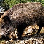 El jabalí abunda en la sierra de Alcaraz y en la sierra del Segura, en la provincia de Albacete.