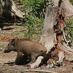 El jabalí es una de las especies cinegéticas más apreciadas de caza mayor en Castilla-La Mancha.
