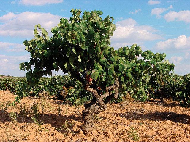 La evidencia más antigua del cultivo de la viña se remonta al cuarto milenio antes de Cristo