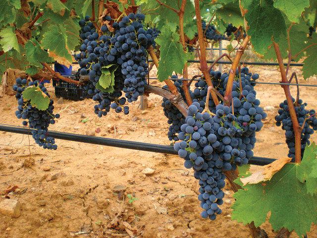 El Dominio de Valdepusa, propiedad del Marqués de Griñón, fue el primer vino de Pago con D.O. de España.