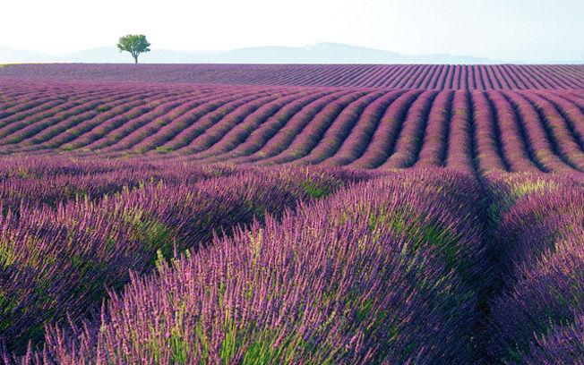 Campos de lavandín, una de las especies más habituales en Castilla-La Mancha.